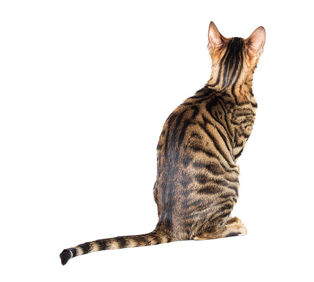 Toyger cat breed sits with his back picture id471866900?b=1&k=6&m=471866900&s=612x612&w=0&h=r3zn4tx6qmyhmeedk61fug4zhsfc1qki1qgxc vjgde=