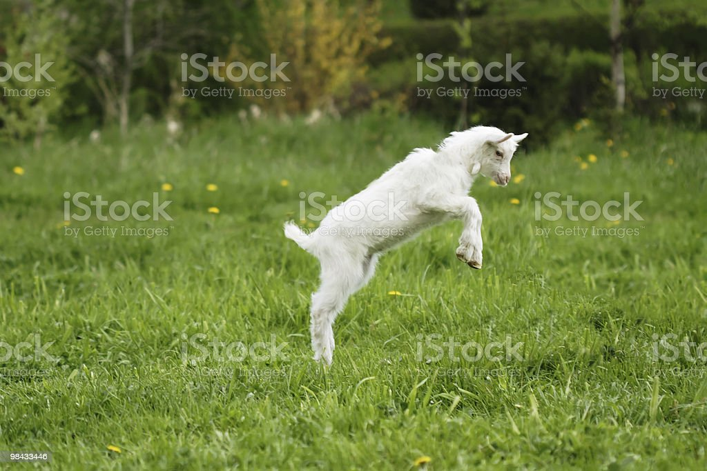 A toying goat leaping into the air with forelegs raised royalty-free stock photo