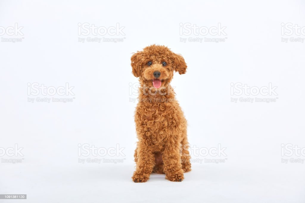 Toypoodle foto stock royalty-free