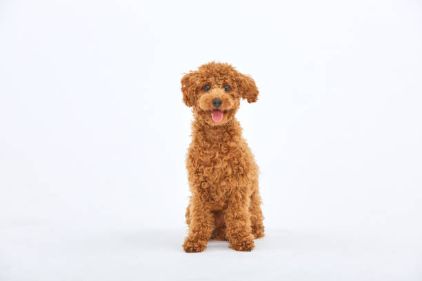 Toypoodle dog.poodle.Pretty poodle stock pictures, royalty-free photos & images