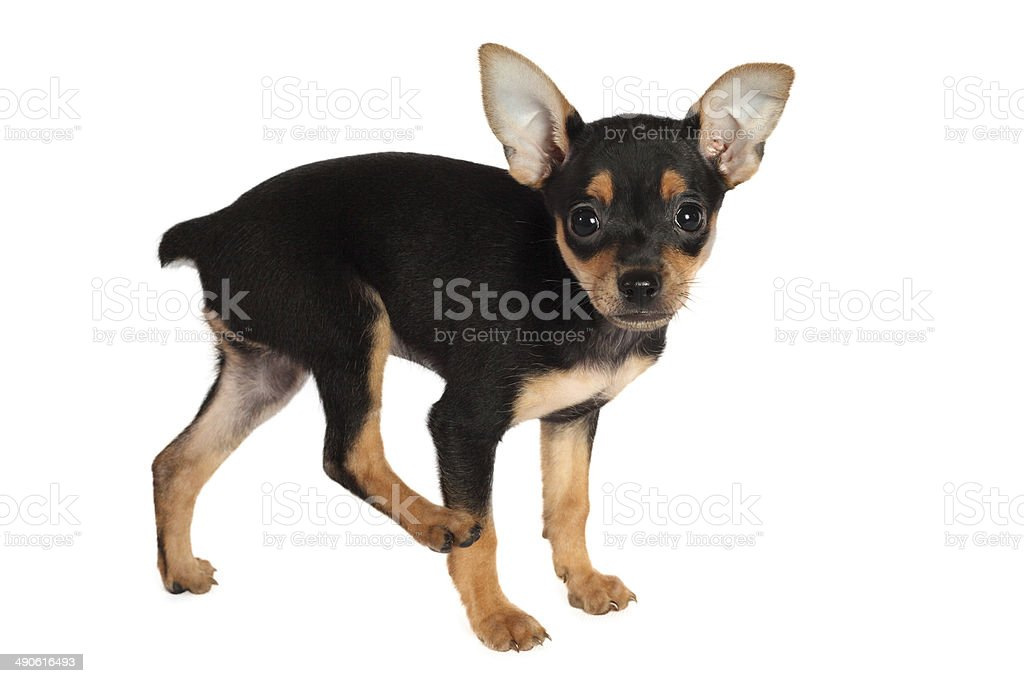 Toy-terrier puppy isolated on white background stock photo