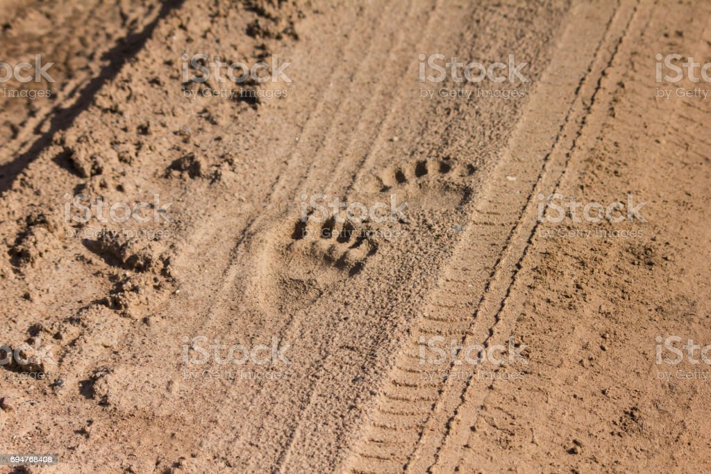 Traces of a brown bear stock photo