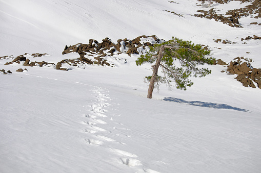 istock Traces Of Hiker With Snowshoes Prints On The Snow 1158502582