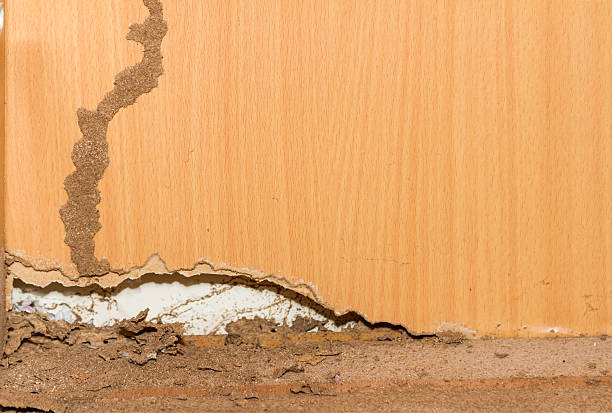Traces of termites on old wood background. stock photo