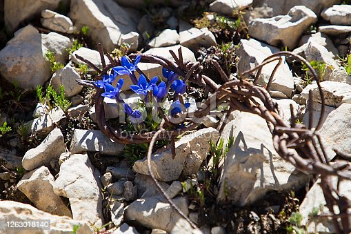 Barbed wire between mountain flowers, traces of the First World War in Dolomites