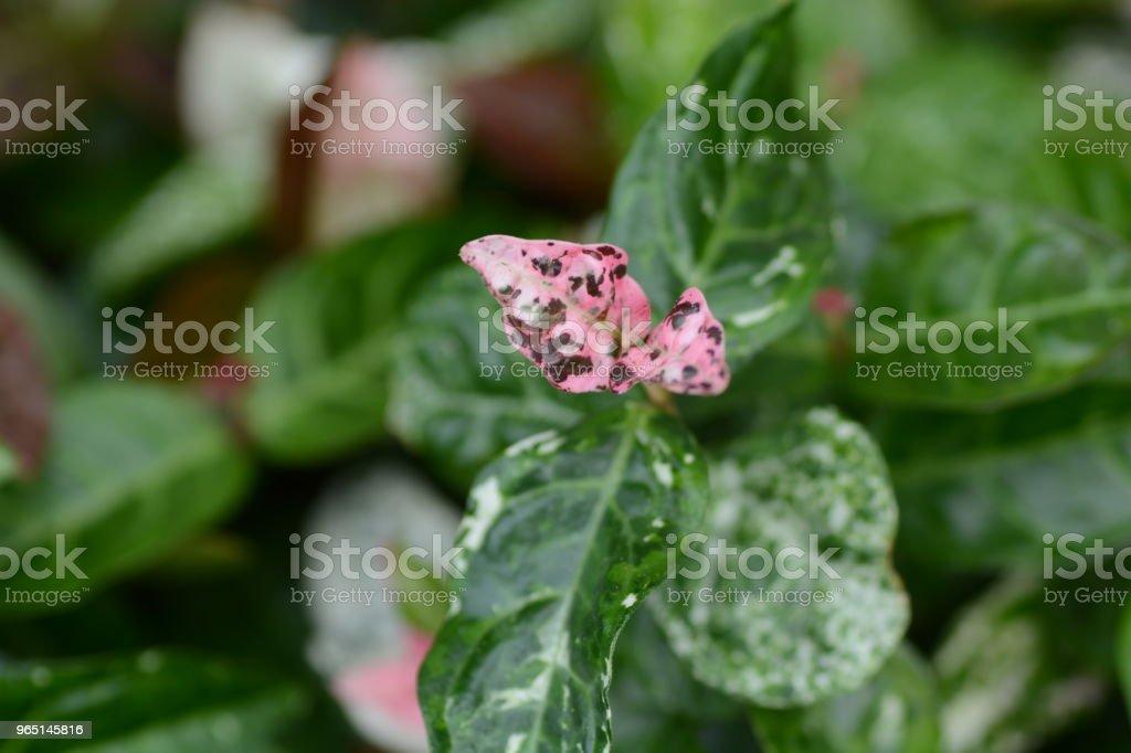 Trachelospermum asiaticum zbiór zdjęć royalty-free