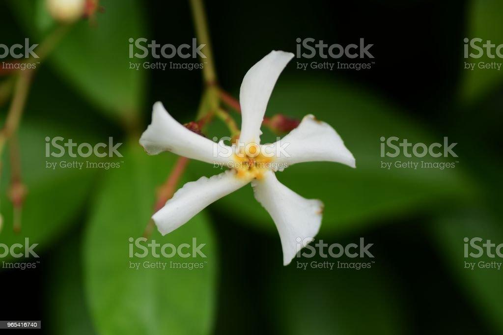 Trachelospermum asiaticum royalty-free stock photo