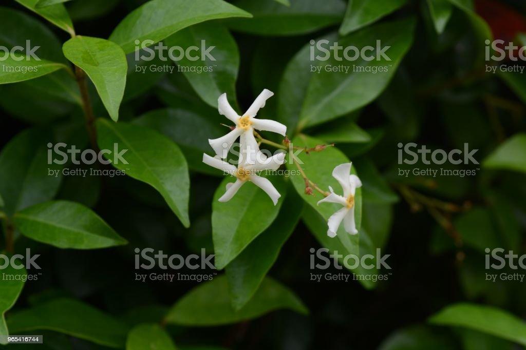 Trachelospermum asiaticum - Photo de Arbre libre de droits