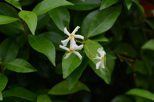 Photo libre de droit de Trachelospermum Asiaticum banque d'images et plus d'images libres de droit de {top keyword}