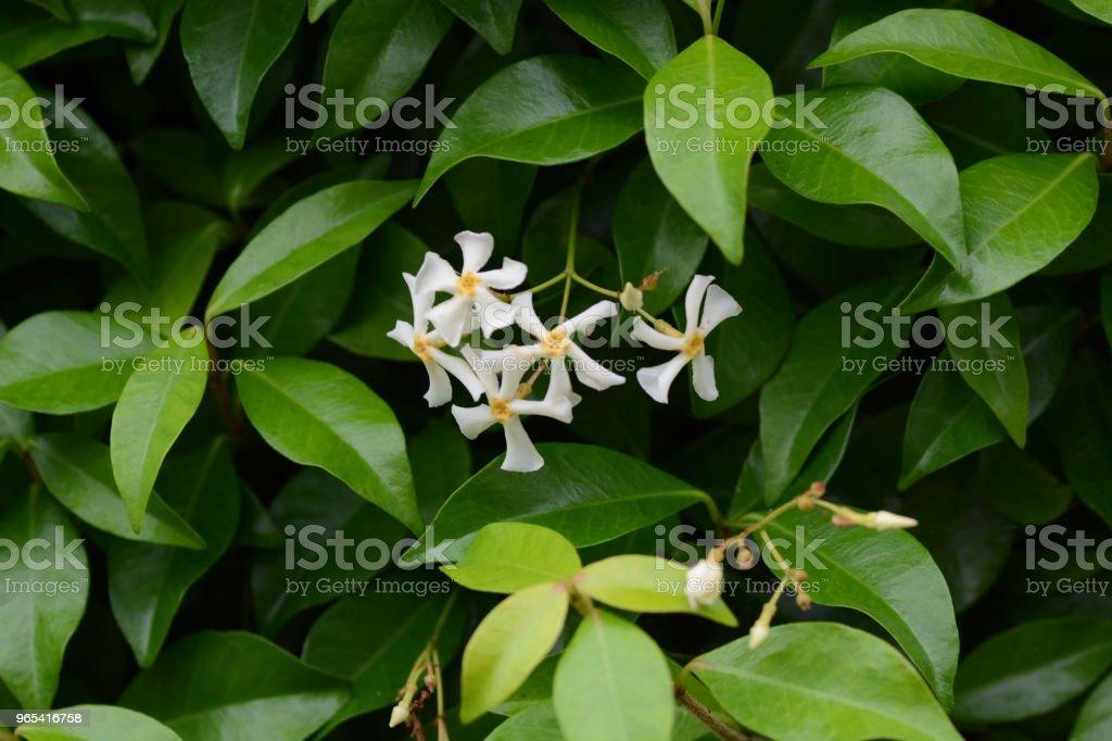 Trachelospermum asiaticum - 免版稅夏天圖庫照片
