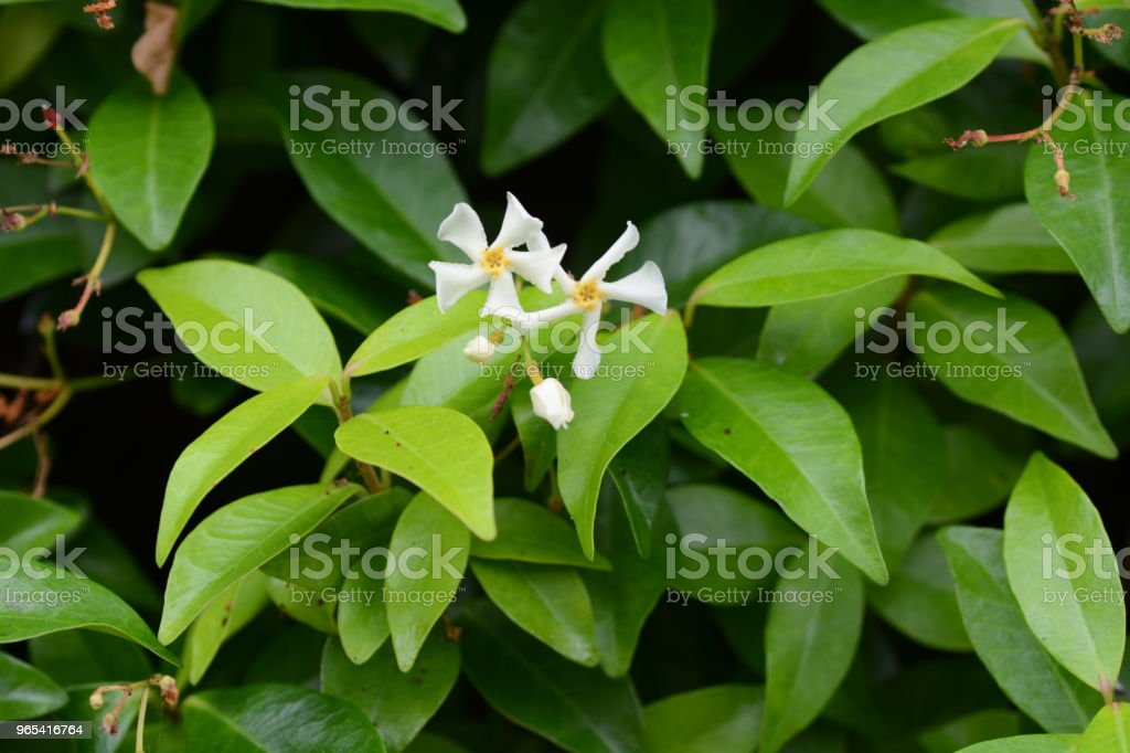 Trachelospermum asiaticum royalty-free stock photo