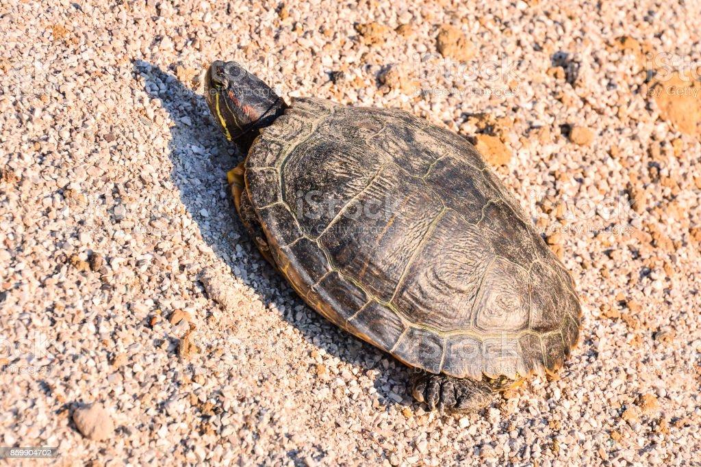Trachemys Scripta Elegans Tortoise stock photo