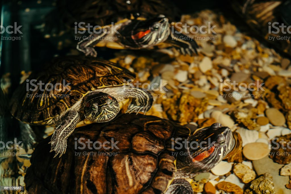 Trachemys scripta royalty-free stock photo