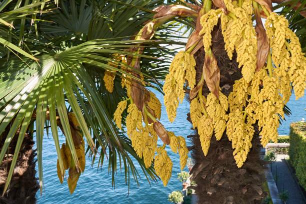 trachycarpus fortunei - blütenstand stock-fotos und bilder