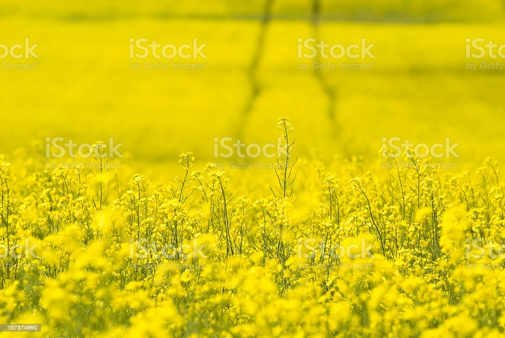 Tracks in Canola field - I stock photo