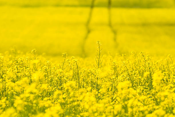 Tracks in Canola field - I  canola stock pictures, royalty-free photos & images