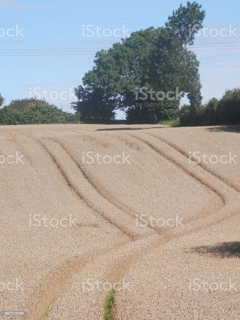 Tracks in corn field royalty-free stock photo