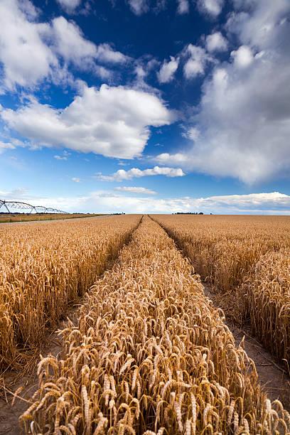 Titel führenden durch wheat field – Foto