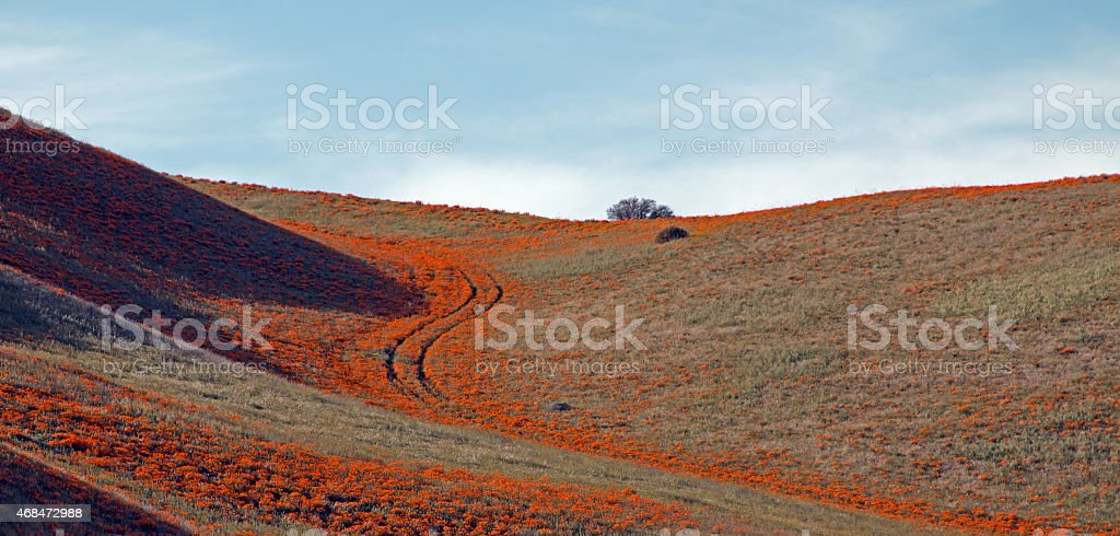 'S' tracks through the California Poppies in Southern California stock photo