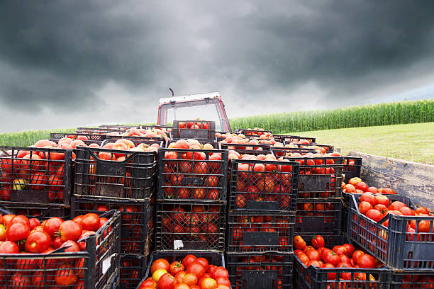 tractor charged with crates filled by red tomatoes to transport - tomato field stock photos and pictures