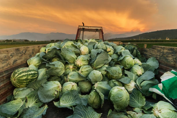 tractor charged with harvested cabbages to transport them to market - foto stock
