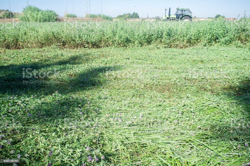Tractor cutting and swathing alfalfa stock photo