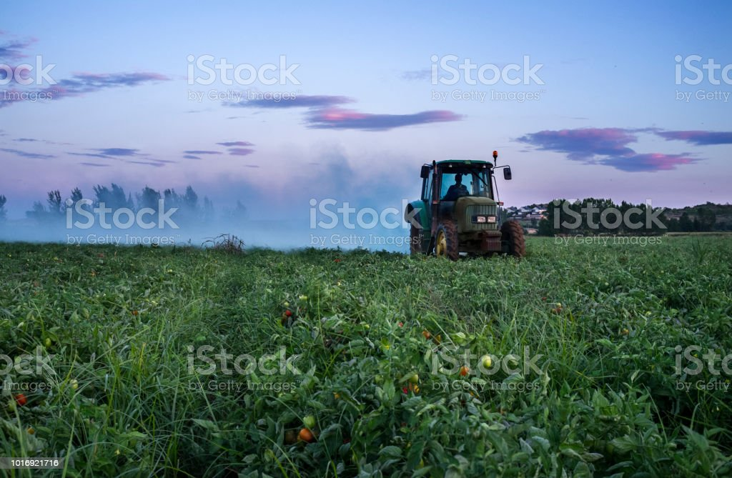 Tractor dusts with  with sulfur powder tomato plants at sunset stock photo
