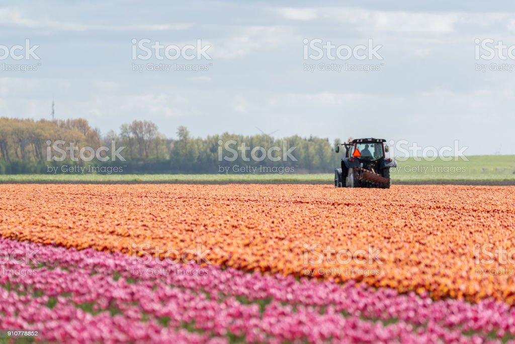Tractor harvesting the tulips on the field stock photo