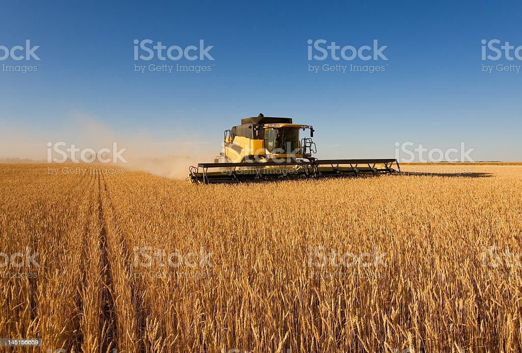 Tractor harvesting wheat in a large field stock photo