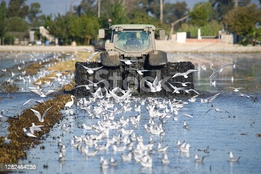tractor in the rice field in delta del Ebro with seagulls