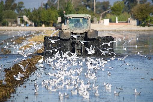 tractor in the rice field in delta del Ebro with seagulls
