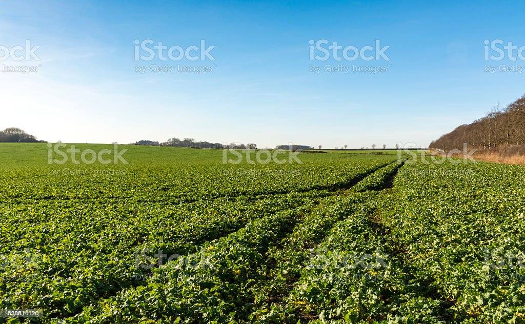 Tractor lines in field of crops stock photo