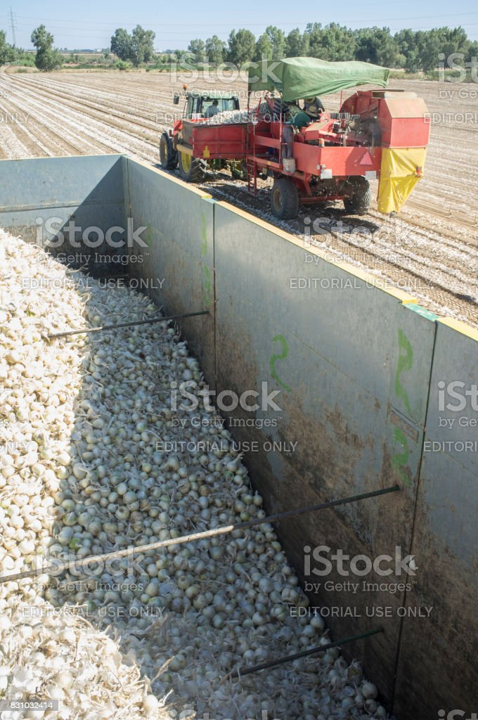 Tractor pulling an onion harvester. View from trailer stock photo