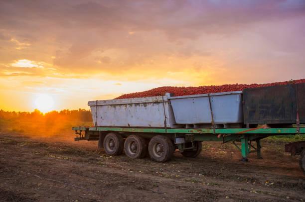 Traktor transportiert drei Gondelcontainer bei Sonnenuntergang durch Tomatenfeld – Foto