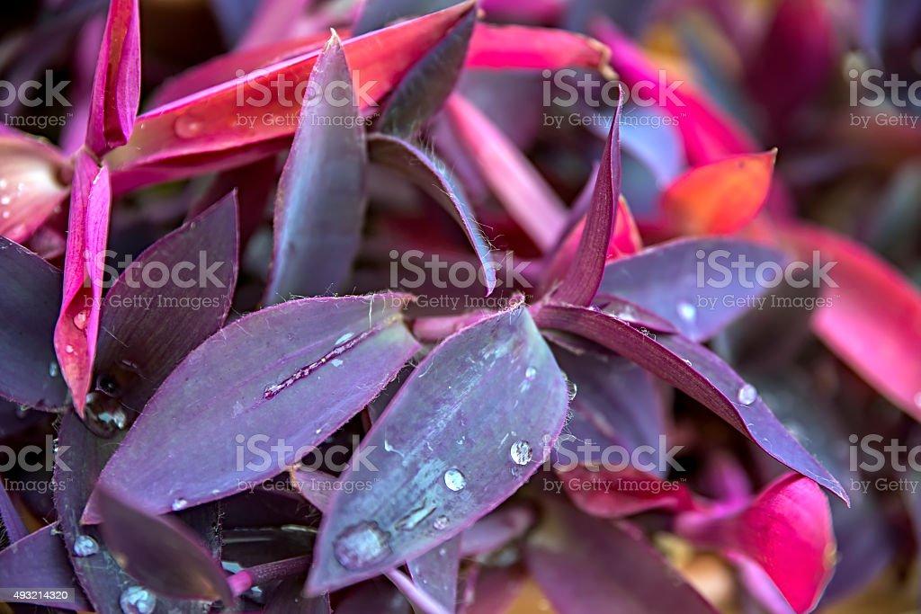 Tradescantia pallida purple stock photo