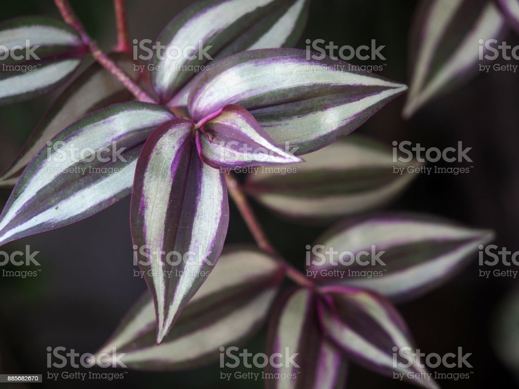Tradescantia zebrina, formerly known as Zebrina pendula, is a species of spiderwort more commonly known as an inchplant or wandering jew. Natural green and violet background stock photo