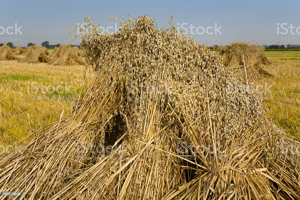 Tradional Corn Harvesting royalty-free stock photo