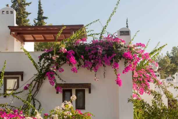 bodrum muğla türkiye'de geleneksel begonviller çiçeği stok fotoğrafı