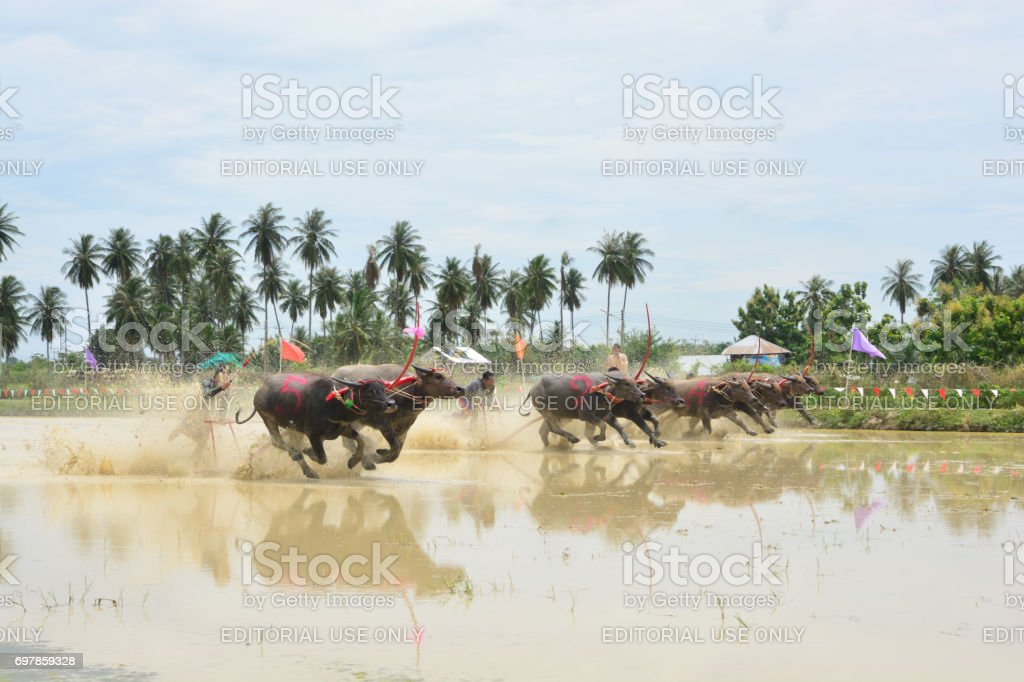 traditional Buffaloes racing stock photo