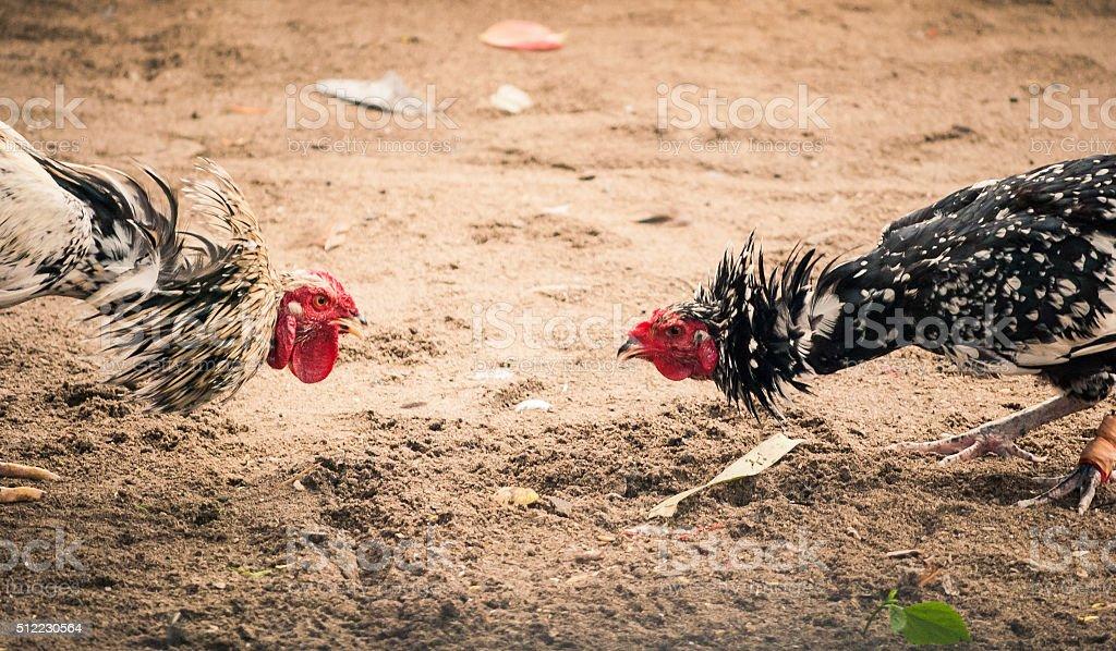 Traditional Cockfighting stock photo