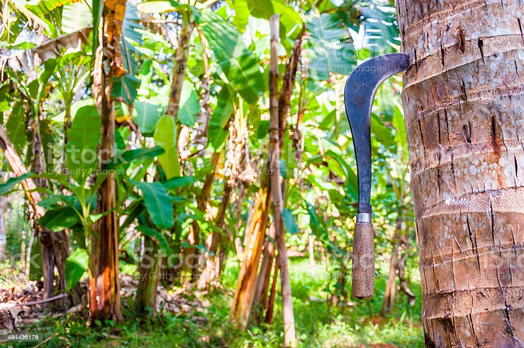 Traditional Coconut Knife on the tree in Kerala Backwaters, India stock photo