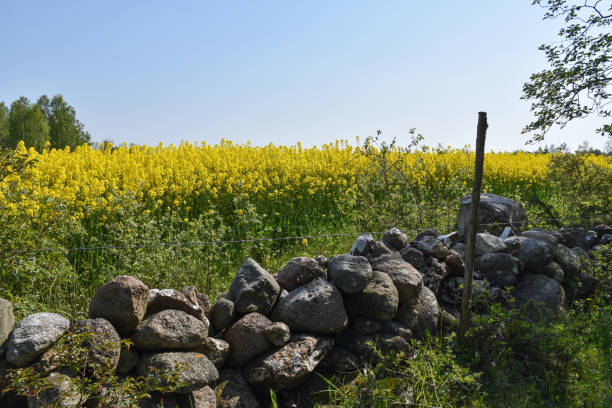 Traditional dry stone wall by a blossom rapeseed field stock photo