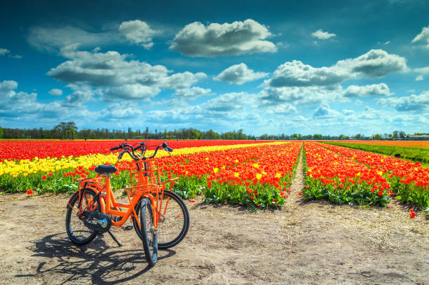 Traditional Dutch colorful tulip fields near Amsterdam, Netherlands, Europe stock photo