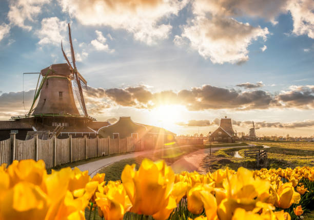 Traditional Dutch windmills with tulips against sunset in Zaanse Schans, Amsterdam area, Holland stock photo