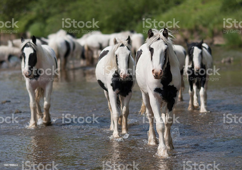 Traditional Gipsy cobs in river stock photo