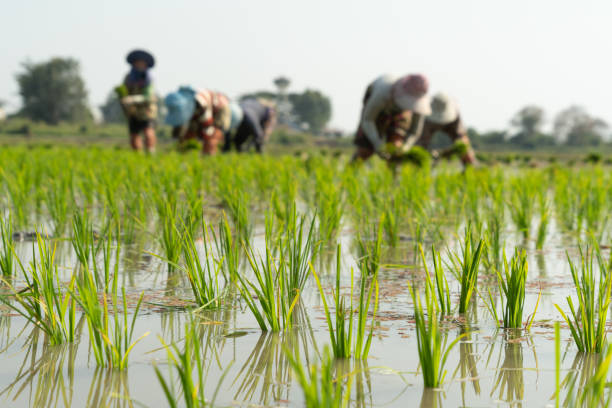 Traditional Method of Rice Planting.Rice farmers divide young rice plants and replant in flooded rice fields in south east asia. stock photo
