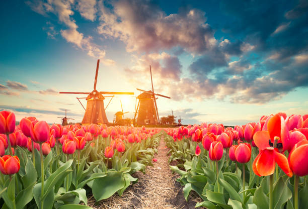 traditional netherlands holland dutch scenery with one typical windmill and tulips, netherlands countryside - netherlands stock pictures, royalty-free photos & images