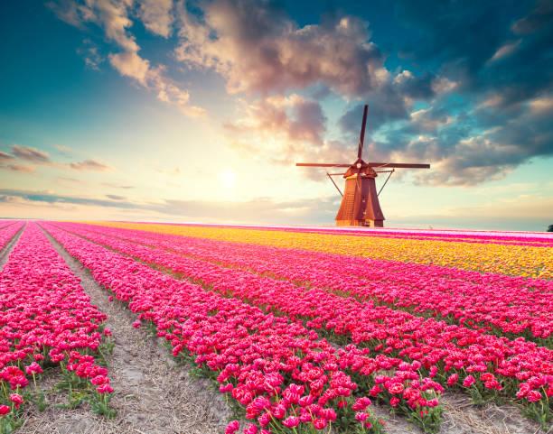 traditionelle Niederlande Holland Holländische Landschaft mit einem typischen Windmühlen und Tulpen, Niederlande Landschaft – Foto