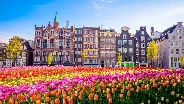 traditional old buildings and tulips in amsterdam, netherlands - netherlands stock pictures, royalty-free photos & images