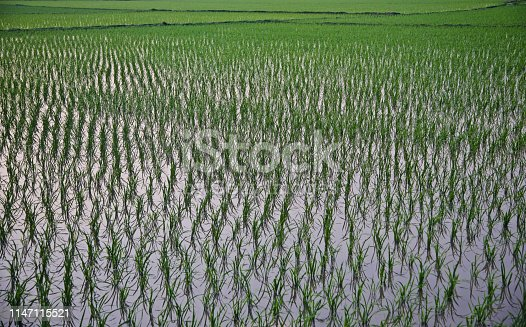 Traditional paddy crops field unique photo